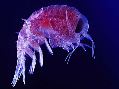 "<a href=""/earth/Life/plankton.html"">Plankton</a> are a diverse set of <a href=""/earth/Life/ocean_life.html"">marine organisms</a>. They can live in salt and fresh water. Although some forms are able to move independently, most plankton drift with the <a href=""/earth/Water/ocean_currents.html"">water currents</a>. This photo shows an amphipod, a type of plankton, at high magnification.<p><small><em>Image courtesy of Uwe Kils.  Creative Commons Attribution ShareAlike 3.0 License.</em></small></p>"